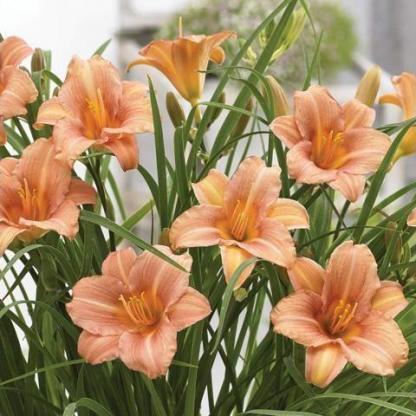 hemerocallis-everydaylily-pink-wing-sasliliom