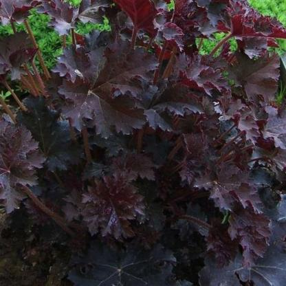 heuchera-palace-purple-tuzgyongyvirag