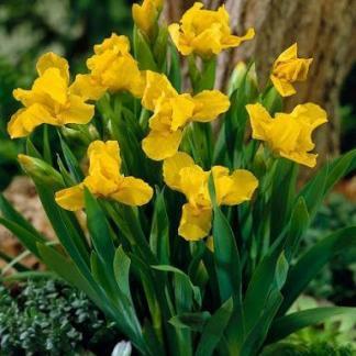 iris-pumila-brassie-apro-noszirom