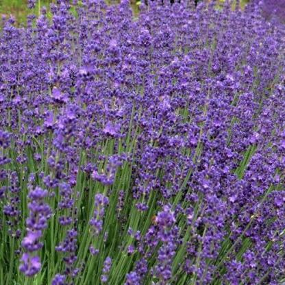 lavandula-angustifolia-beate-levendula