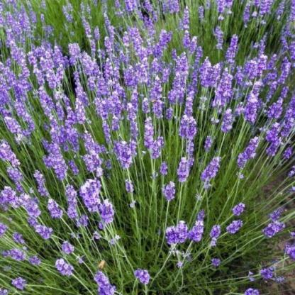 lavandula-angustifolia-blue-scent-angol-levendula
