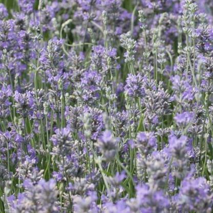 lavandula-angustifolia-cedar-blue-levendula