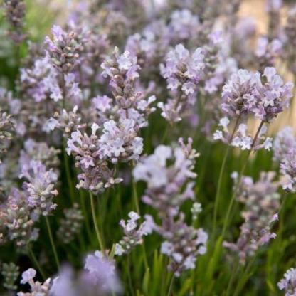 lavandula-angustifolia-little-lottie-levendula