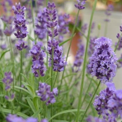 lavandula-angustifolia-spirit-purple-blue