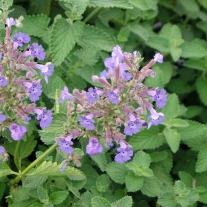 nepeta-fassenii-macskamenta virága