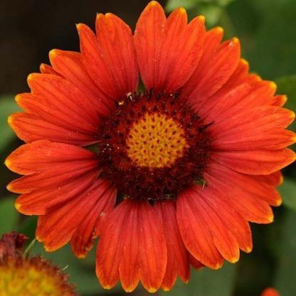 Gaillardia-aristata-Arizona-Red-Shades-kokardavirag