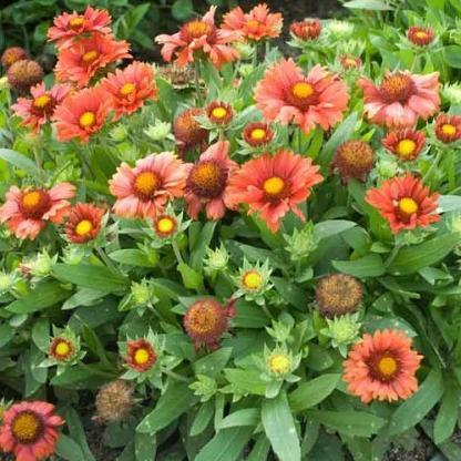 Gaillardia-aristata-Arizona-Red-Shades-kokardavirag2