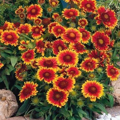 Gaillardia-aristata-Arizona-sun-kokardavirag