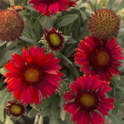 Gaillardia-aristata-mesa-red-kokardavirag2