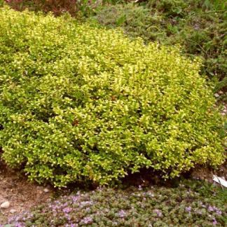 Thymus-citriodorus-bertram-anderson-citromillatu-kakukkfu