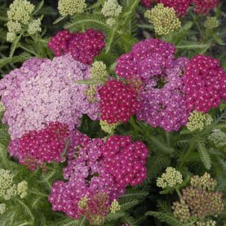 achillea-millefolium-saucy-seduction-cickafark