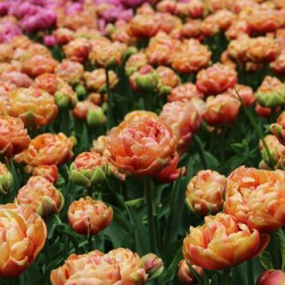 A Tulipa 'Copper Image'® - teltvirágú tulipán világos színeivel tavaszi lágyságot visz a kertbe.
