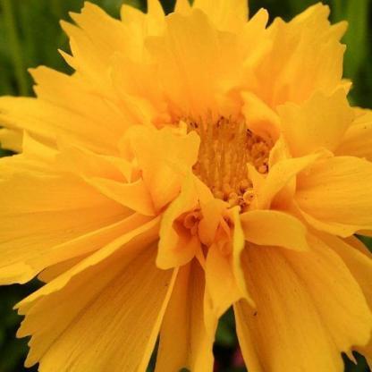 coreopsis-grandiflora-early-sunrise-menyecskeszem2