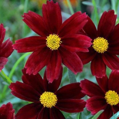 """Coreopsis 'Li'l Bang Red Elf' - menyecskeszem 1 <span class=""""st""""><strong>Coreopsis 'Li'l Bang Red Elf' - menyecskeszem</strong> (szépecske) - 20-30 cm magas, kora nyártól nyílnak fodros szélű, bordó, sárga porzós virágai.</span> <ul> <li><em><span lang=""""HU"""">Kiszerelés: 14 cm-es ültetőedényben</span></em></li> </ul>"""