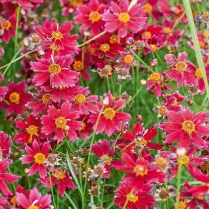 coreopsis-verticillata-limerock-ruby-menyecskeszem