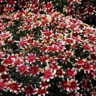 coreopsis-verticillata-sunstar-rose-menyecskeszem