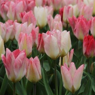 A Tulipa 'Flaming Purissima' - Fosteriana tulipánon fehér és vadmálna árnyalatok dominálnak.