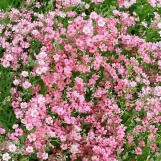 gysophila-repens-filou-rose-havasi-fatyolvirag