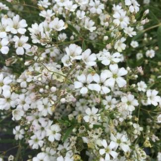 gysophila-repens-filou-white-havasi-fatyolvirag