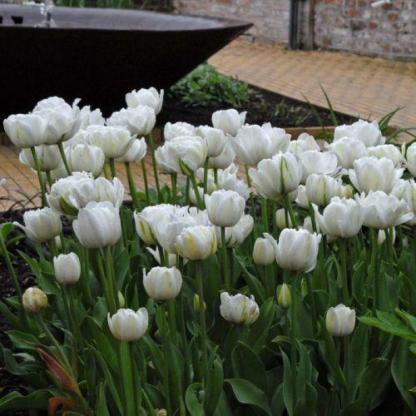 Tulipa 'Mount Tacoma' - teltvirágú tulipán