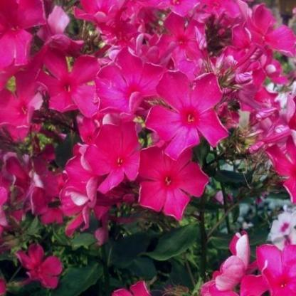 phlox-paniculata-pink-attraction-bugas-langvirag