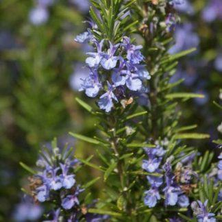 Rosmarin 'Blaulippe' - Rosmarinus officinalis 'Blaulippe'