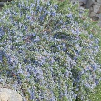 rosmarinus-officinalis-corsican-blue-kerti-rozmaring