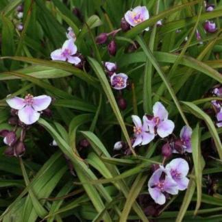tradescantia-andersoniana-bilberry-ice-kerti-pletyka
