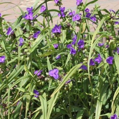 tradescantia-andersoniana-zwanenburg-blue-kerti-pletyka csoport