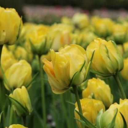Tulipa 'Akebono' - teltvirágú tulipán 1 A<strong> Tulipa 'Akebono' - teltvirágú tulipán </strong>különlegességét a sárga virágszirmokat szegélyező piros csík adja. <ul> <li><em>Kiszerelés: virághagyma, 12+ cm</em></li> </ul>