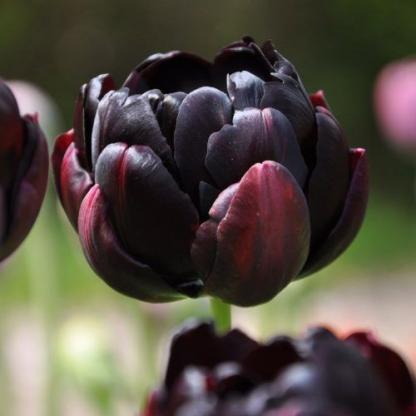 A Tulipa 'Black Hero' - teltvirágú tulipán mélylila színe már szinte feketének hat.