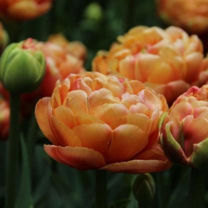 A Tulipa 'Copper Image'® - teltvirágú tulipán barackszínű, rózsaszínes árnyalatú szirmokból áll.