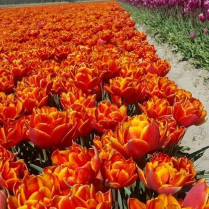 tulipa-crossfire-teltviragu-tulipan