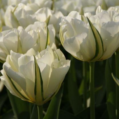 tulipa-exotic-emperor-teltviragu-tulipan