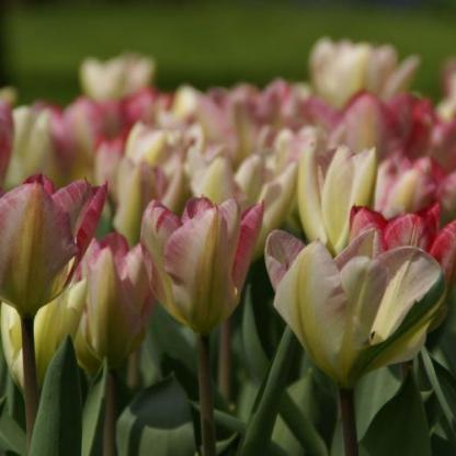 Tulipa 'Flaming Purissima' - Fosteriana tulipán kehely formájáról ismerhető fel.