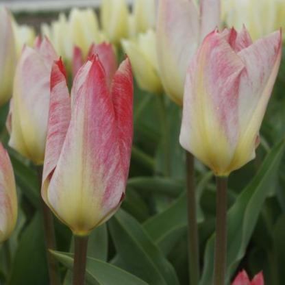 tulipa-flaming-purissima-fosteriana-tulipan
