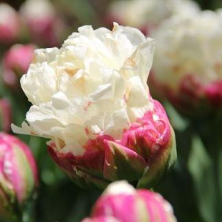 tulipa-ice-cream-teltviragu-tulipan