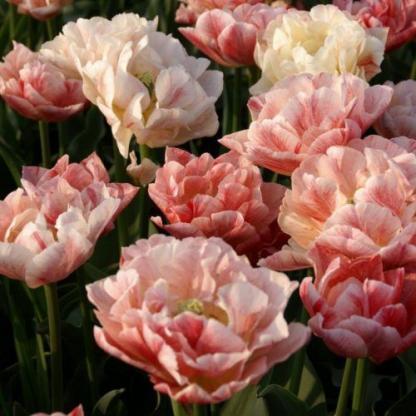 tulipa-peptalk-teltviragu-tulipan