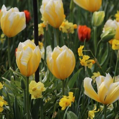 A Tulipa 'Sweetheart' - Fosteriana tulipán citromsárga színű, kehely alakú tulipán, ami vidámságot csempész a tavaszi kertbe.