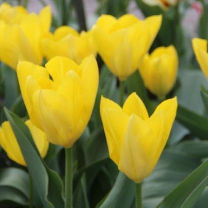tulipa-yellow-purissima-fosteriana-tulipan