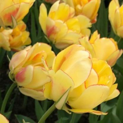 Tulipa 'Akebono' - teltvirágú tulipán 2 A<strong> Tulipa 'Akebono' - teltvirágú tulipán </strong>különlegességét a sárga virágszirmokat szegélyező piros csík adja. <ul> <li><em>Kiszerelés: virághagyma, 12+ cm</em></li> </ul>