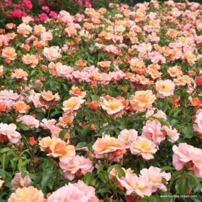 Aprikola barckszínű ágyás rózsa