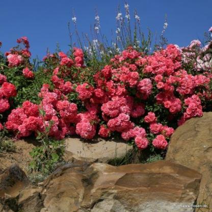 d Birnbach lazacrózsaszín floribunda ágyás rózsa