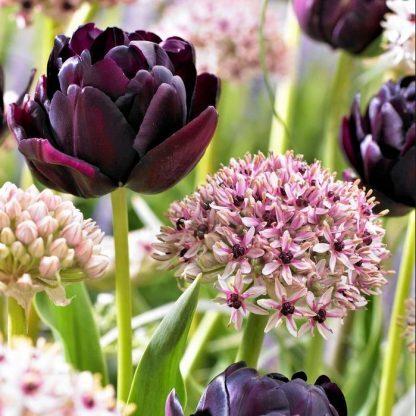 A Tulipa 'Black Hero' twltvirágú tulipán és az Allium 'Silver Spring' díszhagyma társítása