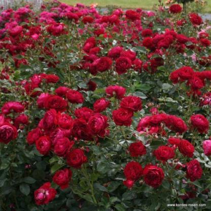 Bordeaux - borvörös ágyás rózsa