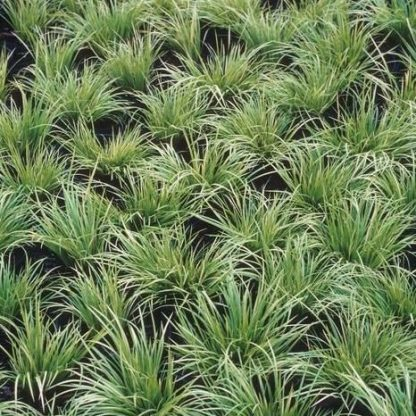 Carex_morrowii_var_temnolepis-silk-tassel-tarka-sás