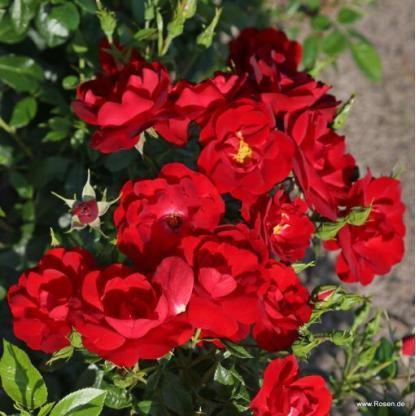 Cayenne piros floribunda ágyás rózsa