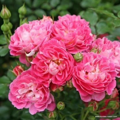 Charmant rózsaszín miniatűr rózsa