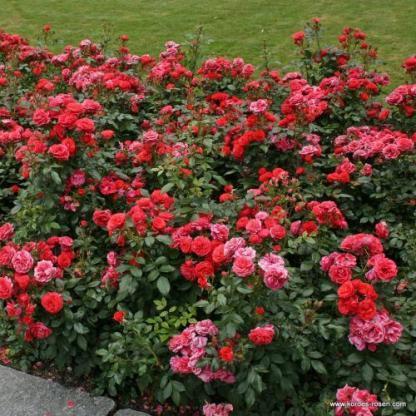 Cherry Girl piros ágyás rózsa
