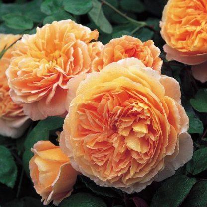 Crown Princess Margareth angol rózsa